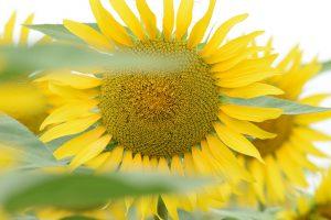 baza floare soarelui